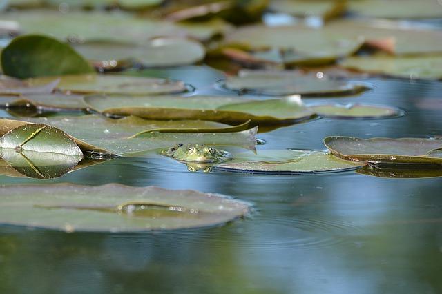žába na lotusu