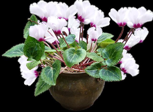 Brambořík v květináči